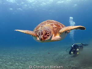 Green turtle and diver at El Puertito, Tenerife. Probably... by Christian Nielsen 